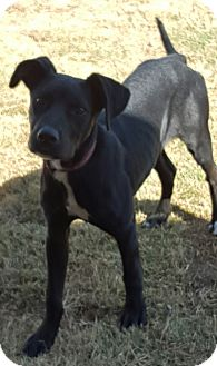 Beagle/Labrador Retriever Mix Dog for adoption in Las Cruces, New Mexico - Boston