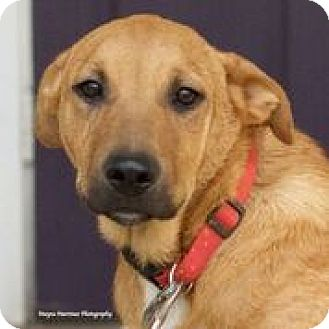 Labrador Retriever/Shepherd (Unknown Type) Mix Puppy for adoption in Knoxville, Tennessee - Summit