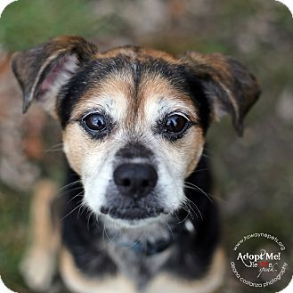 Beagle Mix Dog for adoption in Lyons, New York - Sparky