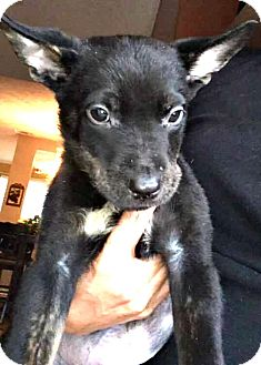 German Shepherd Dog/Husky Mix Puppy for adoption in Boulder, Colorado - Axel