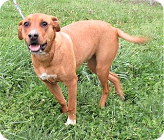 Hound (Unknown Type) Mix Dog for adoption in Reeds Spring, Missouri - Abbey