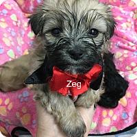 Adopt A Pet :: Ziggy - Brea, CA