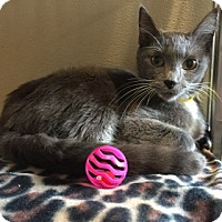 Russian Blue Cat for adoption in Douglasville, Georgia - Lime