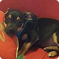 Adopt A Pet :: RJ - Vacaville, CA