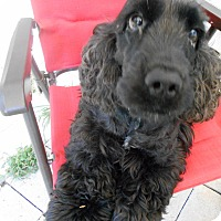 Adopt A Pet :: Lulu/English Cocker Adopted! - Kannapolis, NC