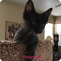 Domestic Shorthair Kitten for adoption in Scottsdale, Arizona - Pinocchio
