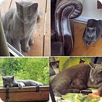 Adopt A Pet :: Sebastian - Stevensville, MD