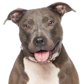 American Staffordshire Terrier Mix Dog for adoption in Los Angeles, California - Baby