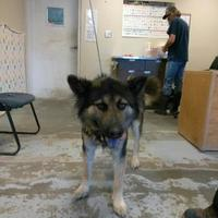 Adopt A Pet :: 36176146 - Los Lunas, NM