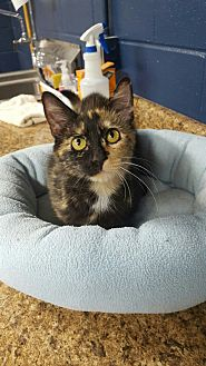 Domestic Shorthair Cat for adoption in Wilmington, Ohio - Olla
