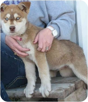 Husky Mix Puppy for adoption in Dublin, Texas - Judd