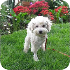Bichon Frise Mix Dog for adoption in La Costa, California - Spirit