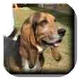 Basset Hound Dog for adoption in Marietta, Georgia - Spencer