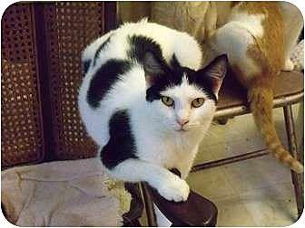 Domestic Shorthair Cat for adoption in MADISON, Ohio - Rosalie