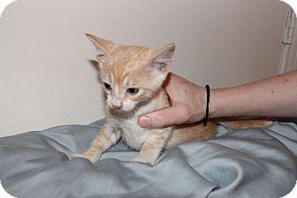 American Shorthair Kitten for adoption in Austin, Texas - Muggles