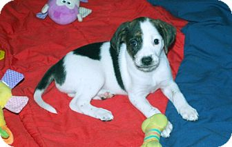 Foxhound/Beagle Mix Puppy for adoption in Minneola, Florida - Candy
