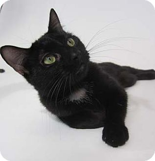 Domestic Shorthair Kitten for adoption in Merrifield, Virginia - Plum