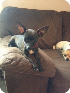 Chihuahua Puppy for adoption in Chicago, Illinois - JASMINE