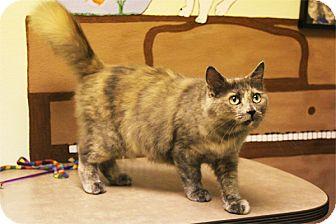 Domestic Shorthair Cat for adoption in Elyria, Ohio - Vanessa