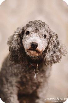 Toy Poodle Dog for adoption in Portland, Oregon - Kisses