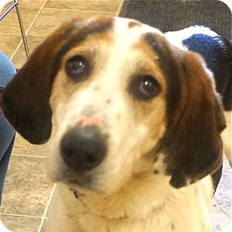 Coonhound Mix Dog for adoption in Sprakers, New York - Pawlee