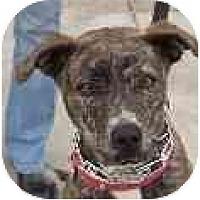 Adopt A Pet :: Cheetah - Hoffman Estates, IL