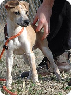 Whippet/Greyhound Mix Puppy for adoption in Mantua, New Jersey - Whippet