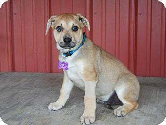 Boxer/Shepherd (Unknown Type) Mix Puppy for adoption in Beachwood, Ohio - Race