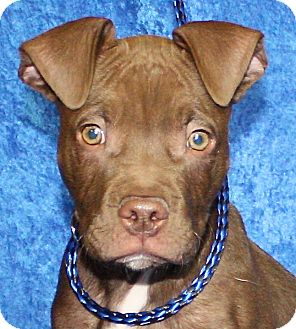 Pit Bull Terrier Mix Puppy for adoption in Jackson, Michigan - Zachary