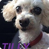 Adopt A Pet :: Tilly - Adopted Aug 2015 - Huntsville, ON