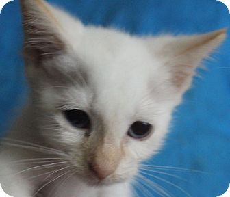 Siamese Kitten for adoption in Colonial Heights, Virginia - Snakebite