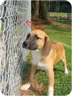 Labrador Retriever/Hound (Unknown Type) Mix Puppy for adoption in Hammonton, New Jersey - Copper