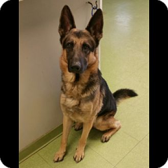 German Shepherd Dog Dog for adoption in Houston, Texas - Smith