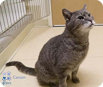 Domestic Shorthair Cat for adoption in Merrifield, Virginia - Carson