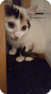 Calico Kitten for adoption in Bensalem, Pennsylvania - Khiara