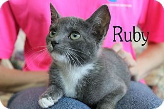 Domestic Shorthair Kitten for adoption in Wichita Falls, Texas - Ruby