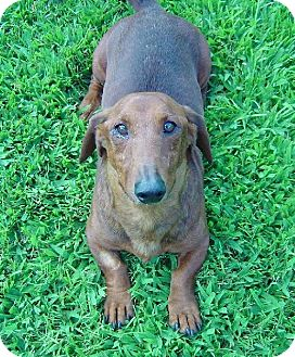 Dachshund Dog for adoption in Texarkana, Texas - Sunset ADOPTED TX
