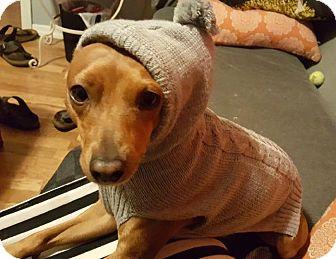 Miniature Pinscher Dog for adoption in Astoria, New York - Zib