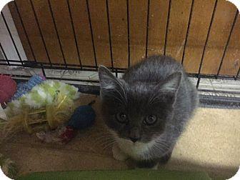 Domestic Shorthair Kitten for adoption in Forest Hills, New York - Tiny Dancer