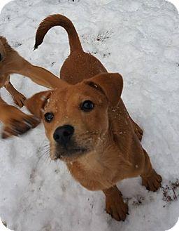 Labrador Retriever Mix Puppy for adoption in Burlington, Vermont - Bowser