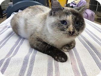 Domestic Shorthair Cat for adoption in Maryville, Missouri - Hera