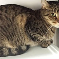 Domestic Shorthair Cat for adoption in oakland park, Florida - Rosella