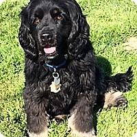 Adopt A Pet :: Bailey-Adoption Pending - Sacramento, CA