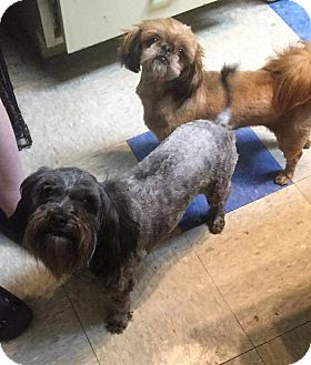 Shih Tzu/Pekingese Mix Dog for adoption in Painted Post, New York - Teddy Girl