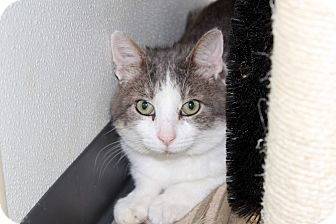Domestic Shorthair Cat for adoption in Martinsville, Indiana - Edward