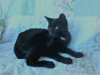 Domestic Shorthair/Domestic Shorthair Mix Cat for adoption in Kinston, North Carolina - Malcolm