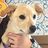 Adopt A Pet :: Cookie Landers - Seattle, WA