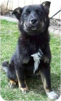 Australian Shepherd/German Shepherd Dog Mix Puppy for adoption in North Judson, Indiana - Jonie