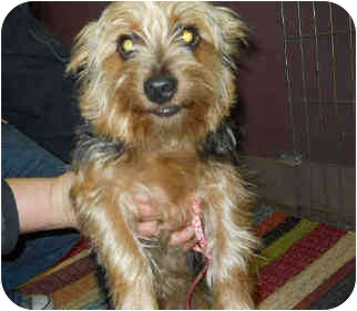 Silky Terrier Puppy for adoption in San Clemente, California - SCOUT
