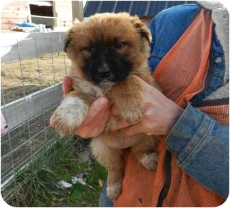 Akita Mix Puppy for adoption in Lawrenceburg, Tennessee - Fluffy